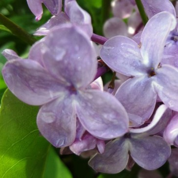 "Syringa vulgaris ""Blue Skies"""