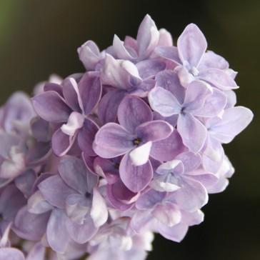 Flieder Syringa hyacinthiflora 'Drushba'