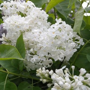Flieder Syringa vulgaris 'Galina Ulanova'