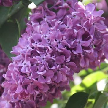 Flieder Syringa vulgaris 'Gastello'