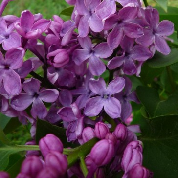 Flieder Syringa vulgaris 'Hugo de Vries'