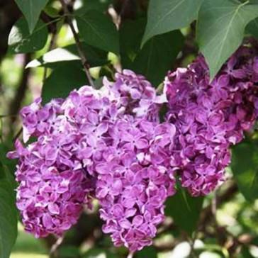 Flieder Syringa vulgaris 'Indiya'