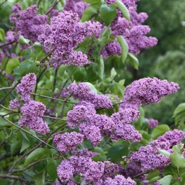 Flieder Syringa vulgaris 'Leonid Leonov'