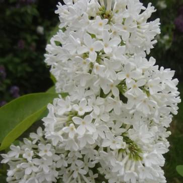 "Syringa vulgaris ""Marie Legraye"""