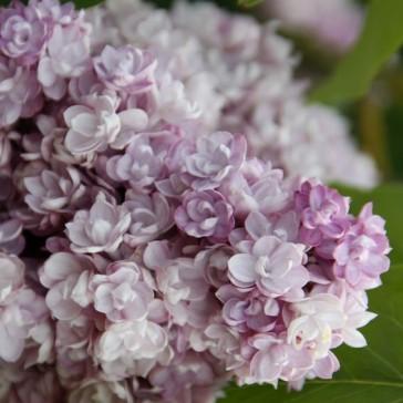 Flieder Syringa vulgaris 'Montaigne'