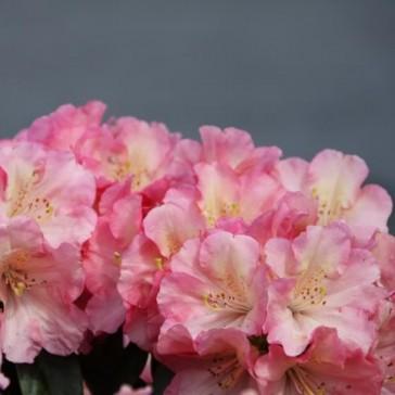 """Rhododendron hybride """"Kranich"""""""