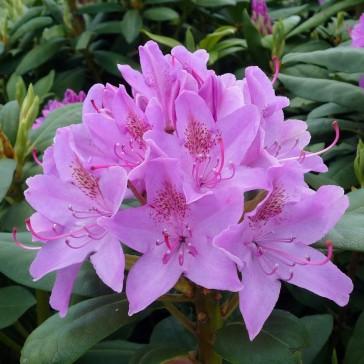 Heckenware Rhododendron hybride ΄Roseum Elegans΄