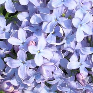 Syringa vulgaris 'Firmament'