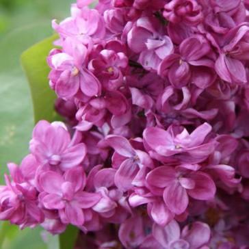 """Syringa vulgaris """"Prince Wolkonsky"""""""