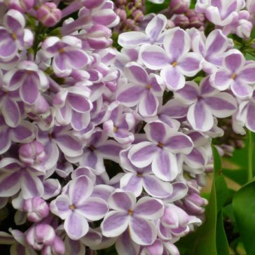 flieder syringa vulgaris 39 lila wonder 39 lila flieder. Black Bedroom Furniture Sets. Home Design Ideas