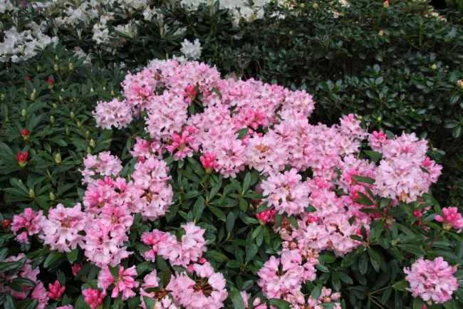rhododendron yakushimanum 39 pink cherub 39 begleit pflanzen. Black Bedroom Furniture Sets. Home Design Ideas