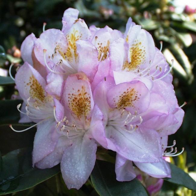 rhododendron hybride gomer waterer fliedertraum. Black Bedroom Furniture Sets. Home Design Ideas