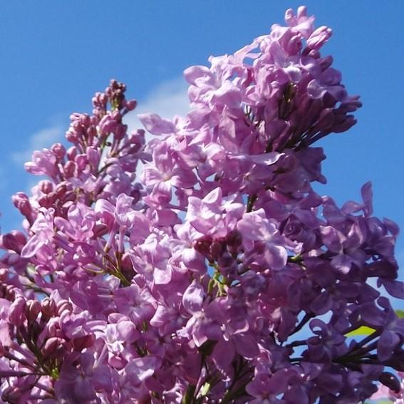 flieder syringa hyacinthiflora 39 lavender lady 39 lila. Black Bedroom Furniture Sets. Home Design Ideas