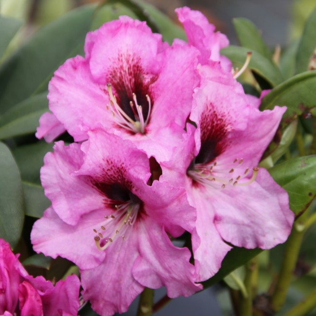 rhododendron hybride 39 ornament 39 weitere pflanzen. Black Bedroom Furniture Sets. Home Design Ideas
