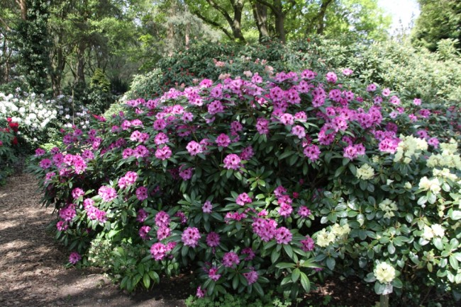 rhododendron hybride 39 ornament 39 begleit pflanzen. Black Bedroom Furniture Sets. Home Design Ideas