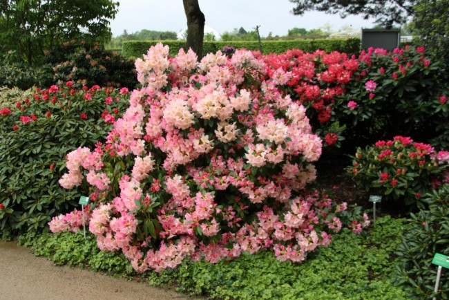 rhododendron yakushimanum 39 percy wiseman 39 rhododendron. Black Bedroom Furniture Sets. Home Design Ideas