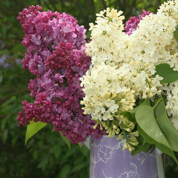 flieder syringa vulgaris 39 primrose 39 flieder klassiker. Black Bedroom Furniture Sets. Home Design Ideas