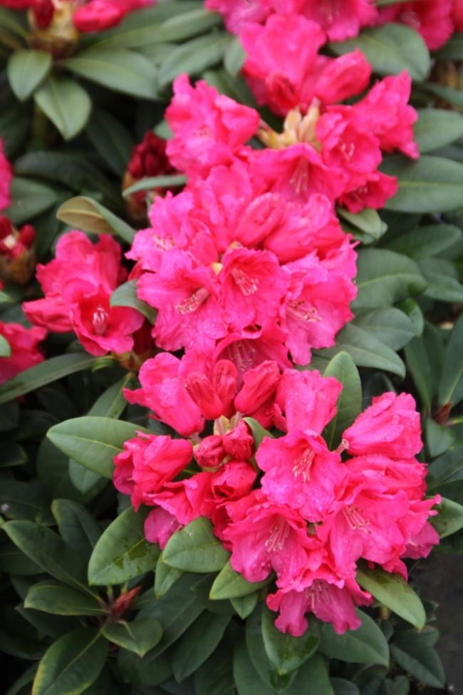 rhododendron hybride 39 rote liebe 39 weitere pflanzen. Black Bedroom Furniture Sets. Home Design Ideas