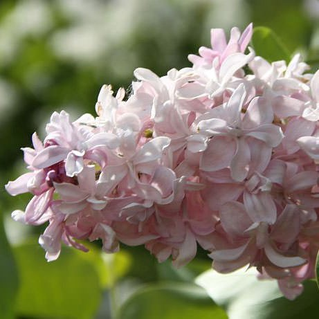 flieder syringa vulgaris 39 edward j gardner 39 rosa. Black Bedroom Furniture Sets. Home Design Ideas