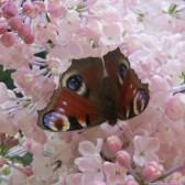 "Syringa hyacinthiflora ""Maidens Blush"""