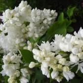 "Syringa vulgaris ""Souvenir d'Alice Harding"""