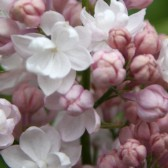 "Syringa vulgaris ""Beauty of Moscow"""