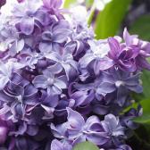 """Syringa vulgaris """"Nadeshda"""""""