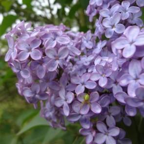 Flieder Syringa vulgaris 'Amethyst'