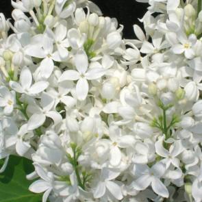 "Syringa hyacinthiflora ""Angel White"""