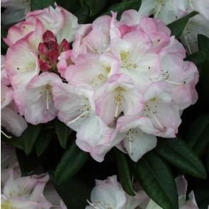 Rhododendron hybride 'Brigitte'