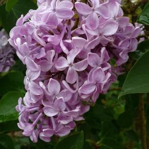 Flieder Syringa hyacinthiflora 'Buffon'