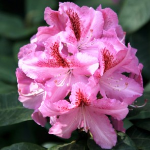Rhododendron hybride 'Furnivall's Daughter'