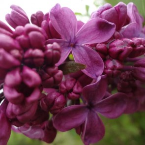 Flieder Syringa vulgaris 'G.J. Baardse'