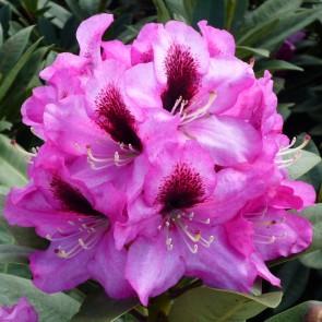 Rhododendron hybride 'Kokardia'