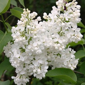 Flieder Syringa vulgaris 'Lebedushka'