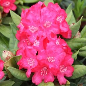 Rhododendron Yakushimanum 'Leuchtfeuer'