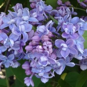 Flieder Syringa vulgaris 'Olivier de Serres'