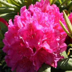 Rhododendron hybride 'Pearce's American Beauty'