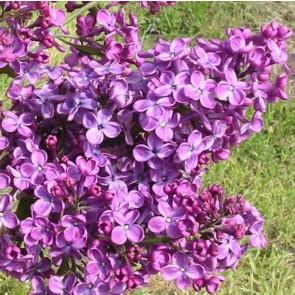 Flieder Syringa hyacinthiflora 'Pocahontas'