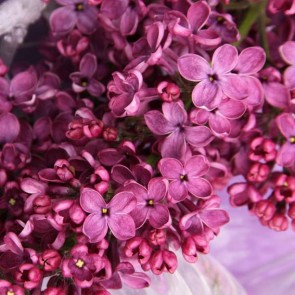 Flieder Syringa vulgaris 'Sarah Sands'