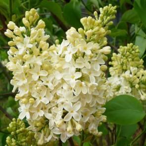 Flieder Syringa vulgaris 'Primrose'
