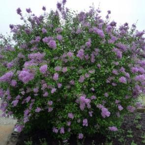 Königs-Flieder Syringa chinensis 'Saugeana'