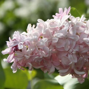 Flieder Syringa vulgaris 'Edward J. Gardner'