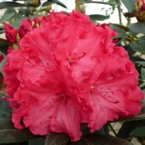 Rhododendron yakushimanum 'Vollblut'