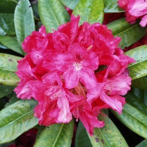 Rhododendron hybride 'Marianne von Weizsäcker'