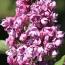 """Syringa hyacinthiflora """"Mme Nadja N ®"""""""