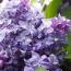 Flieder Syringa vulgaris 'Nadezhda'