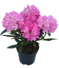 Rhododendron im 2 Liter-Topf