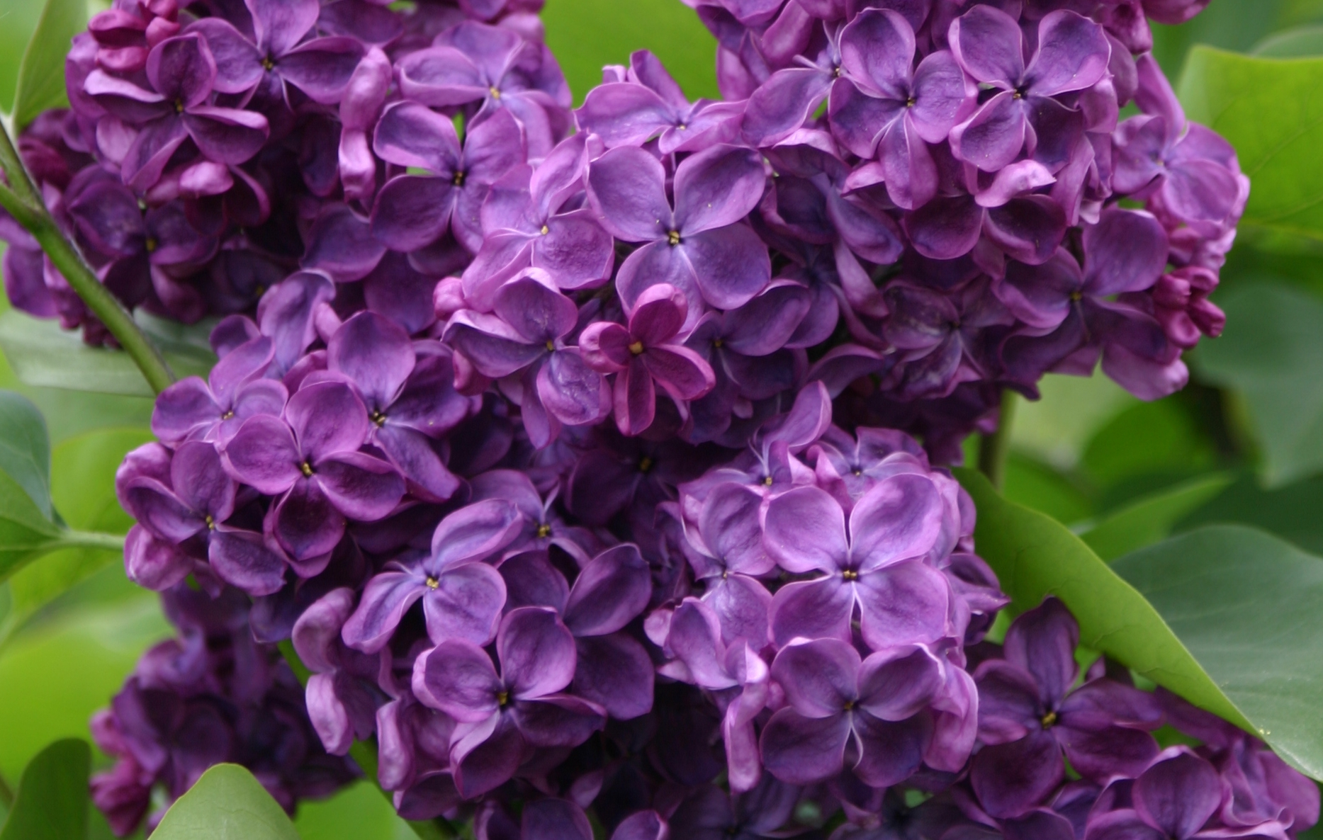 Syringa vulgaris 'Anne Shiach'