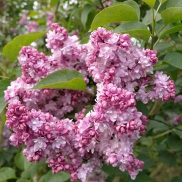 Flieder Syringa vulgaris 'Addie Tischler'